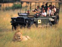 Lion in Entabeni Game Reserve