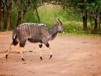 Kudu in Entabeni Game Reserve