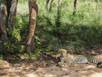 Cheetah in Entabeni Game Reserve