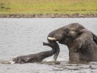 Elephants Bathing in Entabeni Game Reserve