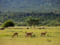 Impala in Entabeni Game Reserve