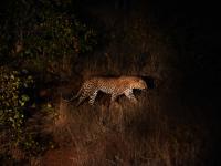 Leopard in Entabeni Game Reserve
