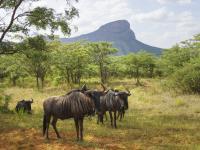 Wildebeests in Entabeni Game Reserve