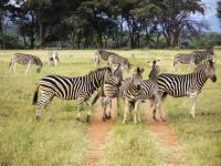 Zebras in Entabeni Game Reserve
