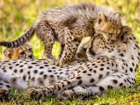 Cheetahs in Manyeleti Game Reserve