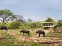Buffalos in Manyeleti Game Reserve