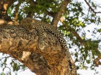 Leopard in Manyeleti Game Reserve